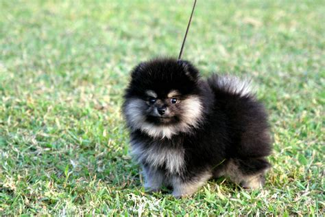 black and pomeranian puppies for sale akc black pomeranian puppy breeds picture