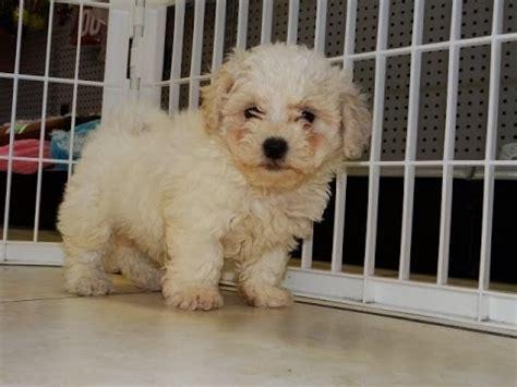 puppies for sale in denver colorado shu teddy so funnydog tv