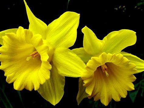 daffodil yellow daffodil yellow flowers desktop wallpaper wallpapers13 com