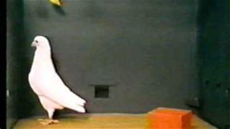 Foundation Pigeon bf skinner foundation pigeon block vidinfo