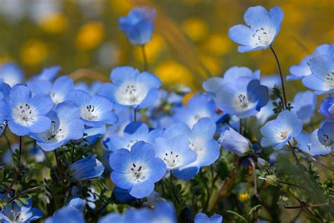 Baby Blue California Baby Blue Wildflowers Blue Flowers Jpg