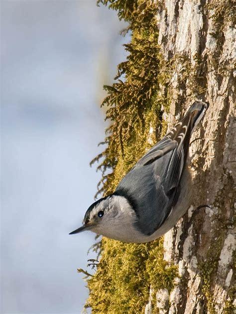 common backyard birds  delaware lists  id