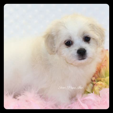 what are teddy puppies teddy puppy information breeds picture