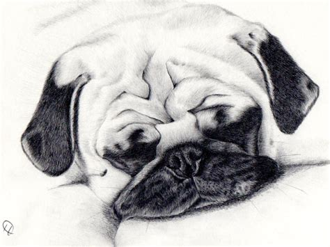 sketch of a pug sleepy pug drawing daler rowney