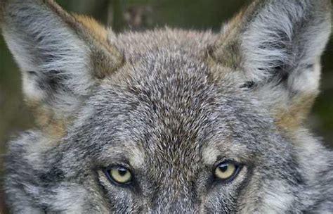 minicuentos de lobos y el lobo ib 233 rico prefiere los animales salvajes a las ovejas rtve es