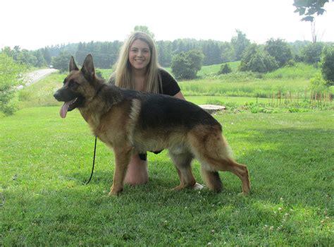 where to buy german shepherd puppies buy german shepherd dogs