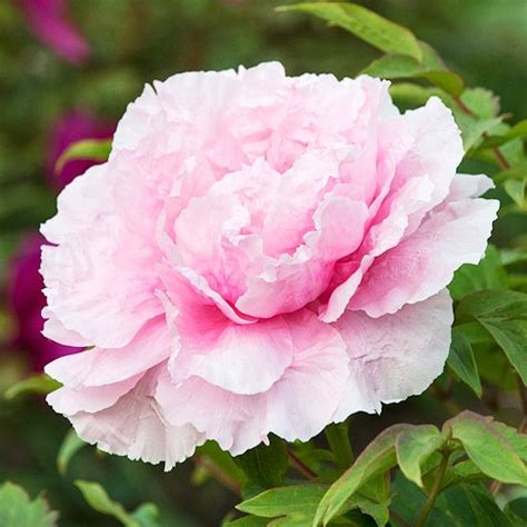 peony the best varieties for your garden books 25 best ideas about pink trees on japanese