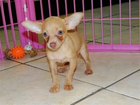 charleston puppies chihuahua puppies dogs for sale in charleston south carolina sc rock hill