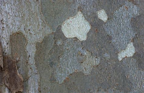 Sycamore Tree Shedding Bark by American Sycamore