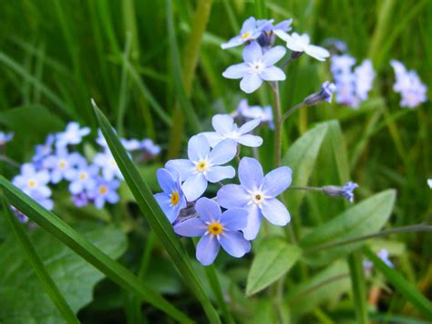 forget me not flower pictures beautiful flowers