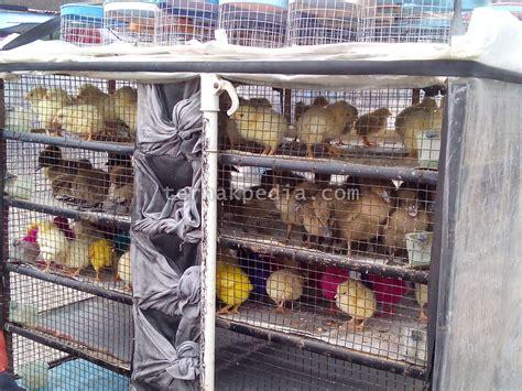 Bibit Ayam Dan Bebek penjual bebek dan ayam keliling ternakpedia
