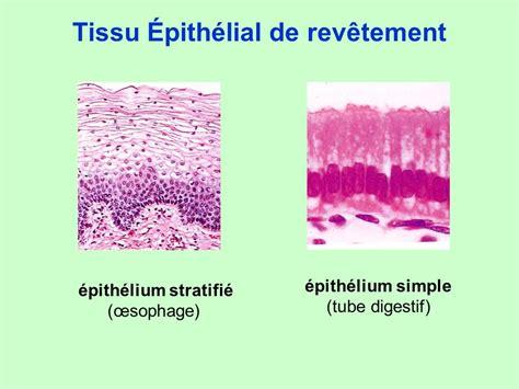 Tissu De Revetement by 2 Organisation Tissulaire Ppt T 233 L 233 Charger