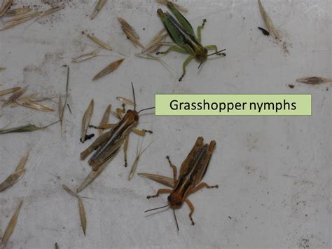 uncategorized extension entomology grasshoppers extension entomology