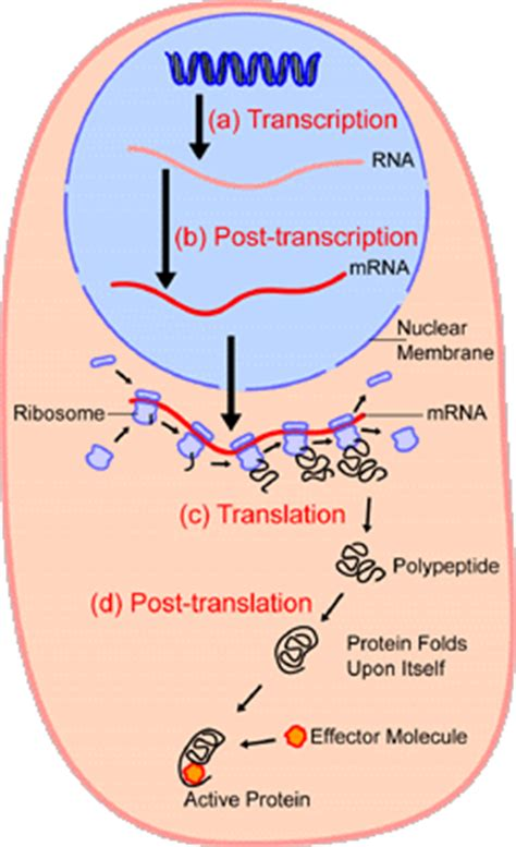 where in a eukaryotic cell does translation occur prokaryotic transcription and translation are coupled