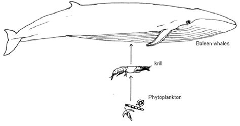 baleen whale food web pictures to pin on pinterest thepinsta