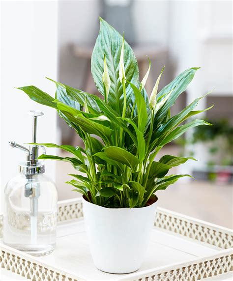 buy house plants buy house plants now air so pure 174 spathiphyllum chopin