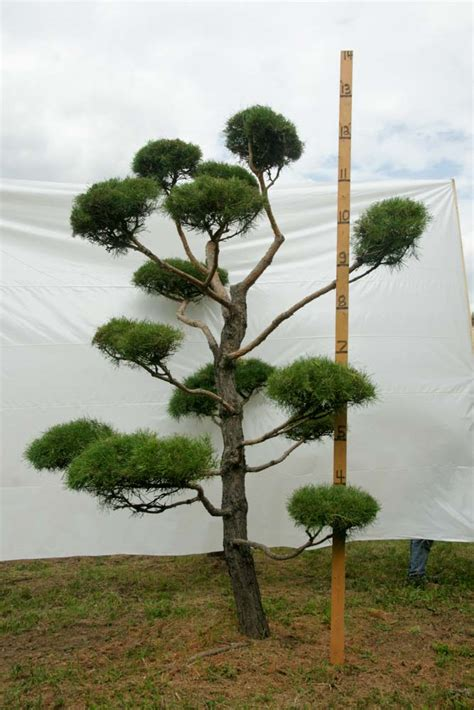 scotch pine topiary 187 scotch pine topiary tree 108 plants beautiful nursery