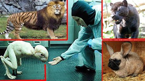 fotos animales hibridos reales top 9 animales h 237 bridos geneticamente modificados cruces