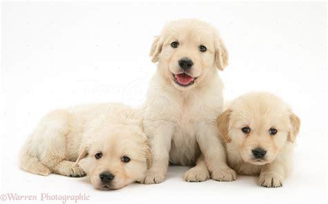 golden retriever 5 weeks dogs three golden retriever puppies 5 weeks photo wp39788