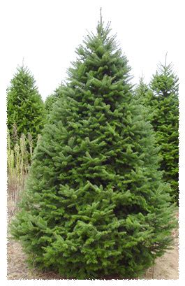 what is the most fragrant fir tree for christmas silent evergreens wholesale balsam fir fraser fir scotch pine white pine wholesale