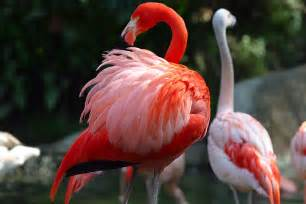 pink flamingos flamingo birds