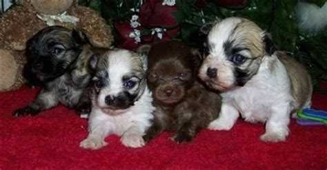 havanese and chihuahua mix cheenese breed information and pictures