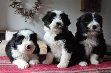 bearded collie puppy bearded collie puppies lydney gloucestershire pets4homes