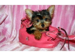 yorkie puppies for sale in denton tx terrier puppies in