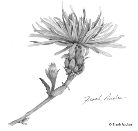 botanical drawing using graphite 1785001590 frank andrus botanical illustrator portfolio of art graphite colored pencil pen ink and