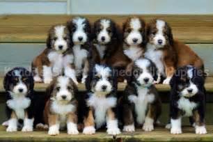 Bernedoodle home bernedoodle puppy bernedoodle breeder