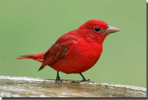 birds summer tanager