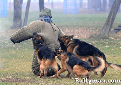 how are k9 dogs trained pitbull dogs