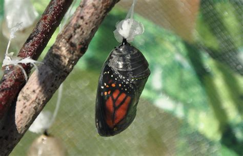 The Monarch Butterfly what monarch butterflies prefer earth earthsky