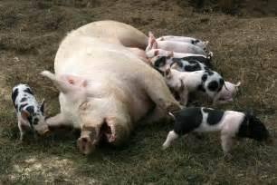 file pig lactation jpg wikimedia commons