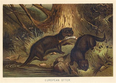the history of the european fauna classic reprint books and antique prints and maps european otter 1895