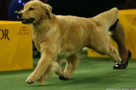 westminster show 2017 winner westminster show 2017 and the winner is a german shepherd thestreet