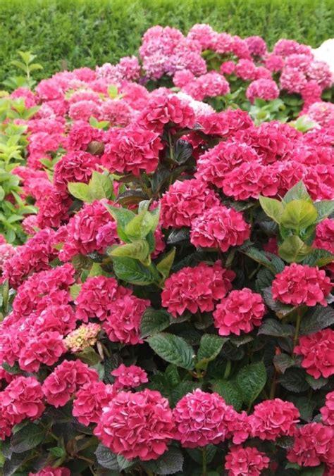 Wanneer Snoeien Hortensia by Alle Takken De Hortensia Tot Op Cm Hoogte U Let Op Dat