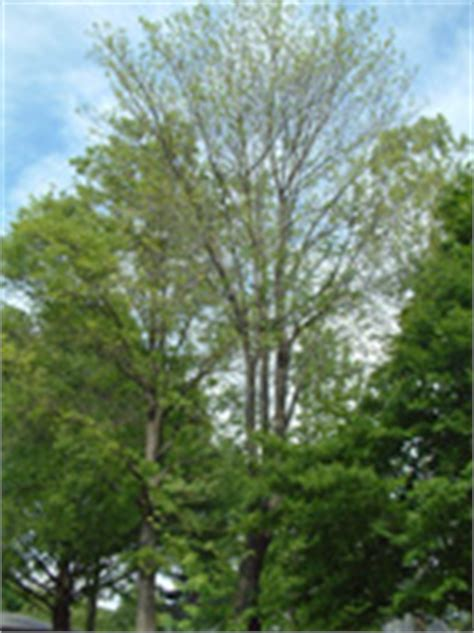 maple tree health tree service may be required for trees with insect and disease problems that can