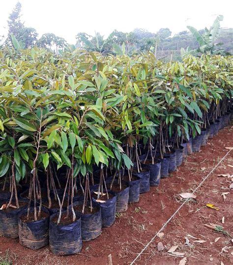 Bibit Alpukat Kaki Ganda 4 alasan pilih kantong tanam vertikal usaha agribisnis