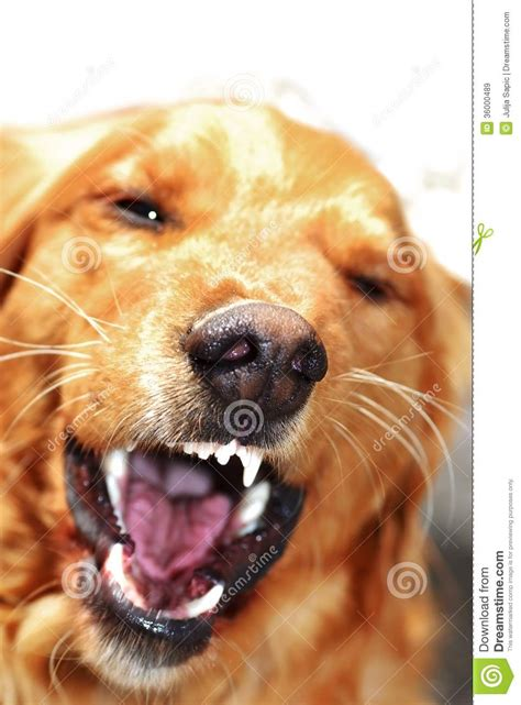 golden retriever puppy biting portrait royalty free stock images image 36000489