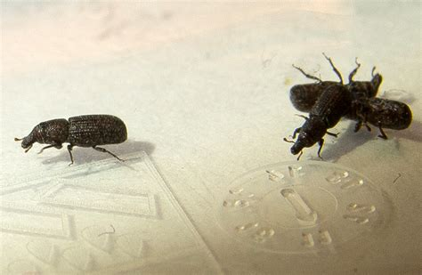 Pantry Bugs Black by Weevil Infestation In Austria Is Caulophilus Oryzae What