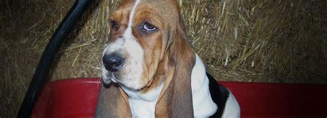 basset hound puppies for sale in indiana akc basset hound puppies for sale bloodhound breeders in indiana hydens hounds