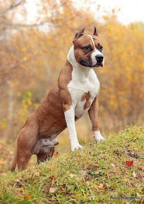 amstaff puppy big lad amstaff dogs