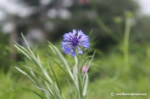 flower pictures cornflower picture 25
