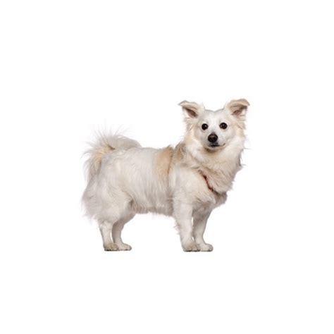 petland puppies for sale malti pom puppies petland novi