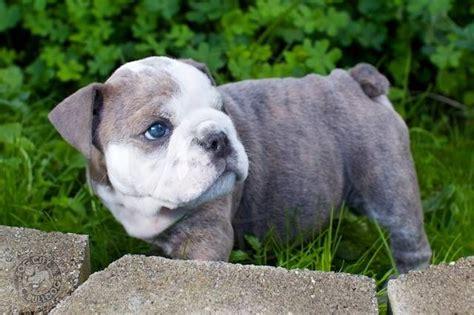 blue american bulldog puppies soooooo adorable blue eyed bulldog pup bulldogs