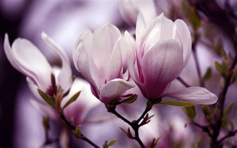 magnolia wallpaper the noble magnolia branches bloom photography wallpaper 7
