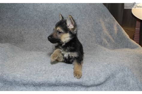 the puppy patch puppies for sale from the puppy patch member since april 2016