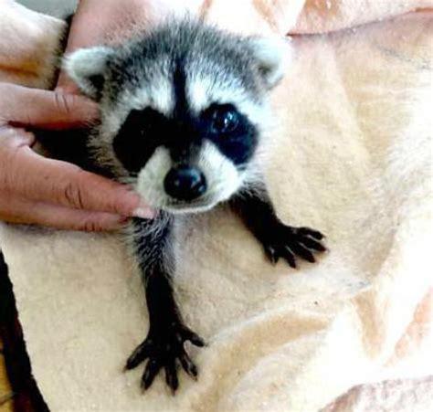 baby raccoon rescue. rescate de cria mapache picture of
