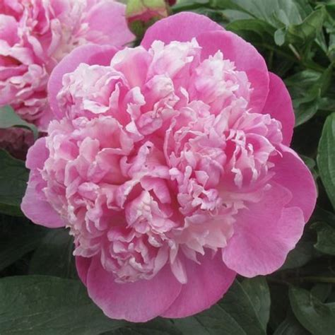 393 best images about peony on pinterest alexander